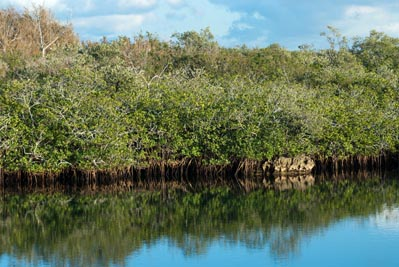 Red mangroves growing in a protected area