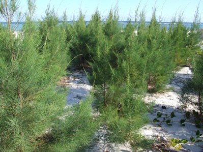 The alien tree Casuarina equisetifolia invading Cayman's coast