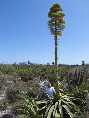Kew staff examining a flowering specimen of Agave caymanensis