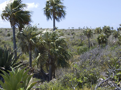 Dry thicket vegetation on Little Cayman with the endemic palm, Coccothrinax proctorii
