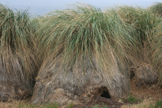 Tussock Grass, an important habitat for burrowing Magellanic Penguin