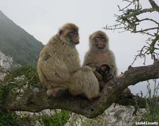Barbary Macaques, Gibraltar is the only place in Europe where wild primates live