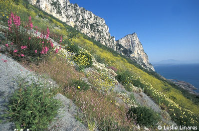 Typical Mediterranean vegetation, growing on the Rock of Gibraltar