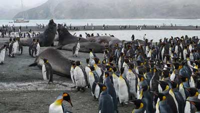 King penguins and elephant seals