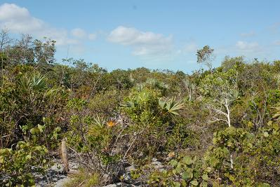 Dune Thicket vegetation, Middle Caicos Island